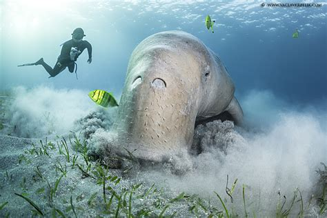 dugong    single breathunderwater photography guide