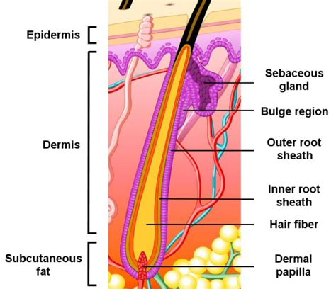 basic structure of the hair and skin interior design