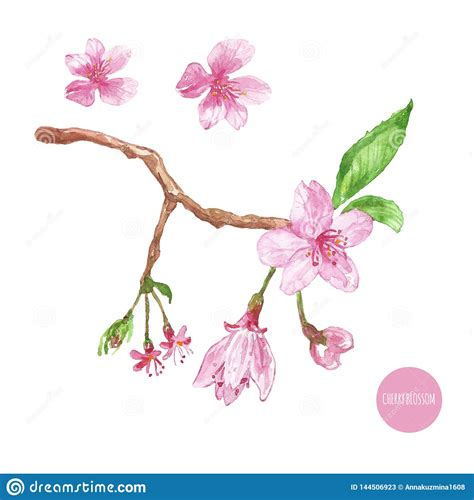 Watercolor Cherry Blossom Illustration Hand Painted