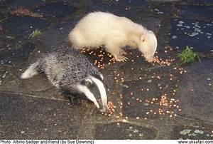 Albino  Leucistic And Erythristic Badgers