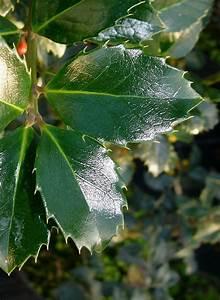 Pflanze Mit Stacheln : ilex wintergruen ~ Frokenaadalensverden.com Haus und Dekorationen