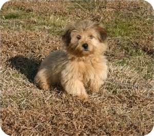 adopt a border terrier find dogs for adoption dog breeds
