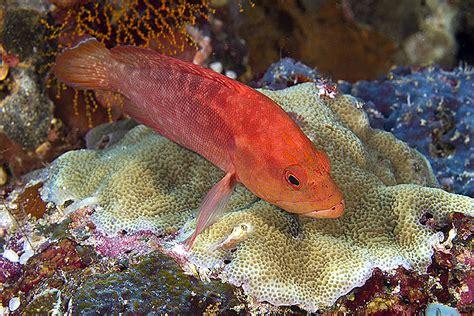 grouper strawberry cephalopholis lbs fish mexico kri raja ampat eco fresh
