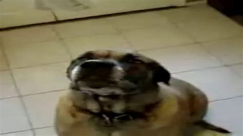 dog eats bean burrito    earrape youtube