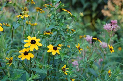 Black Eyed Susan's Big Sister Provides Color In Shade