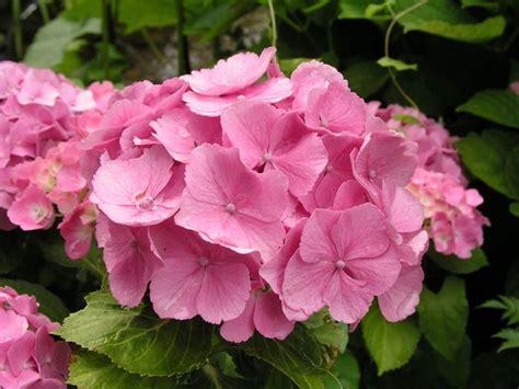 wann hortensien pflanzen hortensien richtig schneiden garten hortensien garten garten und ziergarten