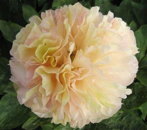 Lois' choice - unikāla | Flowers, Peonies, Garden