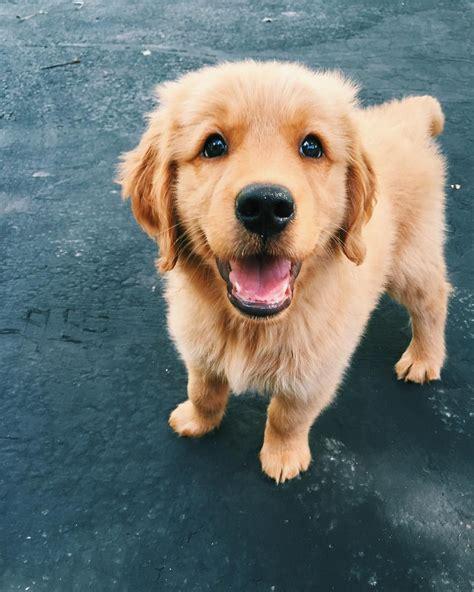 Best 25 Cute Puppies Golden Retriever Ideas On Pinterest