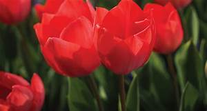 41 Types of Red Flowers - ProFlowers Blog