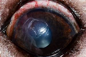 Let U0026 39 S Talk Symptoms  Diagnosis And Treatment For Dog Eye