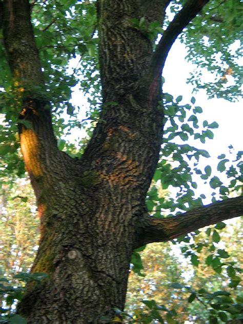 iip olm elm ulmus bomen herkennen op deze bomen site