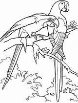 Coloring Birds Macaw Bird Parrot African Ausmalbilder Papageien Animals Template Colorear Loros Dibujo Ausdrucken Malvorlagen Kostenlos Zum Copyright sketch template