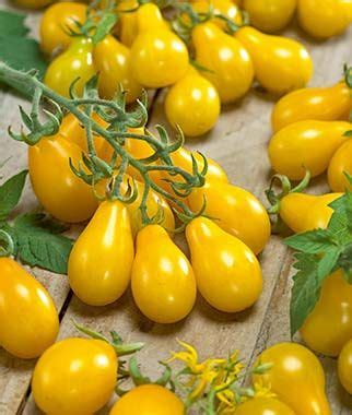 We re pot some aloe plant and enjoy our time in doors. Yellow Pear Tomato Seeds and Plants, Vegetable Gardening at Burpee.com