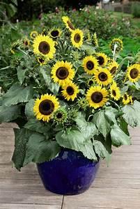 Sunflowers - and Cupcake Heaven - Dobies blog