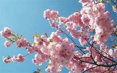Sakura Wallpapers Wonderful Hdwallsource Desktop Computer Cherry