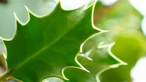 Image Gallery Mistletoe Leaf