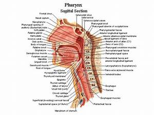 Lymph Nodes Diagram Neck Human Anatomy Lymph Nodes Tag
