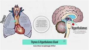 Thymus  U0026 Hypothalamus Gland By Asia West On Prezi