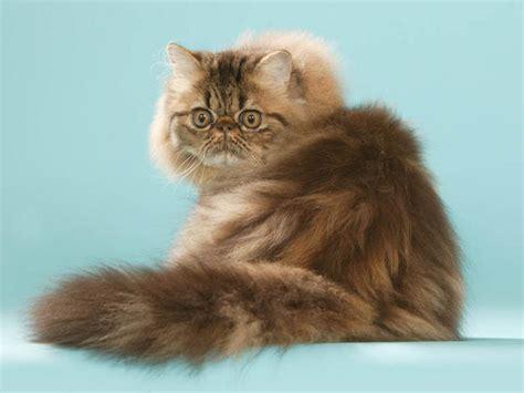 chat persan noir persan chat et chaton wamiz