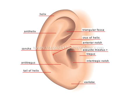 HUMAN BEING :: SENSE ORGANS :: HEARING :: PINNA image