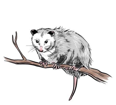 opossum clipart possum clipart opossum pencil and in color possum