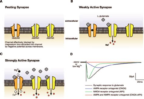 The Nmda Receptor As A Coincidence Detector This Figure