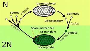 Science Doing  Kingdom Plantae  Alternation Of Generations