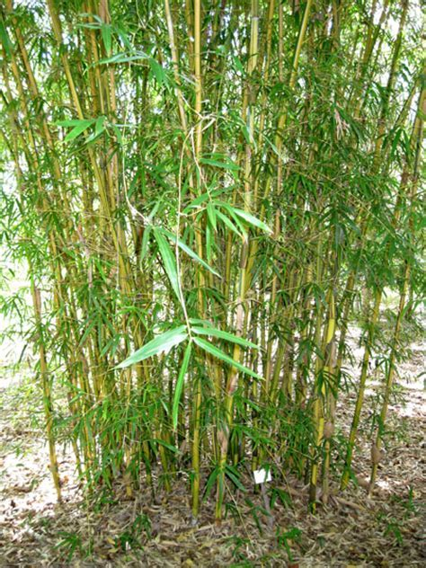 Bamboo Australia » Yellow striated punting pole