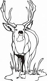 Coloring Deer Mule Printable Popular sketch template