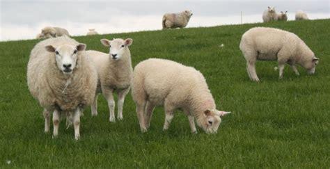 tepung ikan pakan ternak cara memberi pakan domba teknologi solusi dunia peternakan