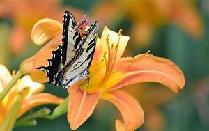 butterfly, , flower, wallpapers, hd, , , , desktop, and, mobile, backgrounds