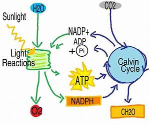34 Photosynthesis And Cellular Respiration Diagram