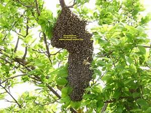Hilfe Im Garten : hilfe ein bienenschwarm im garten unser imker ~ Lizthompson.info Haus und Dekorationen