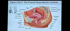 Anatomy And Physiology Help  Chapter 28 Reproductive