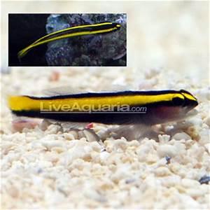Saltwater Aquarium Fish for Marine Aquariums Golden Neon Goby