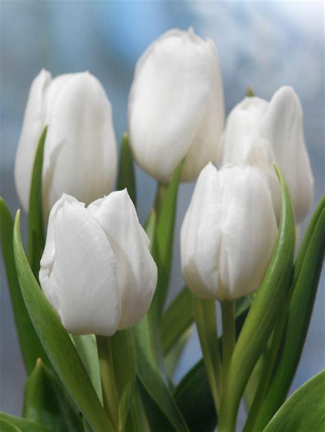 buy triumph tulip bulbs tulipa white