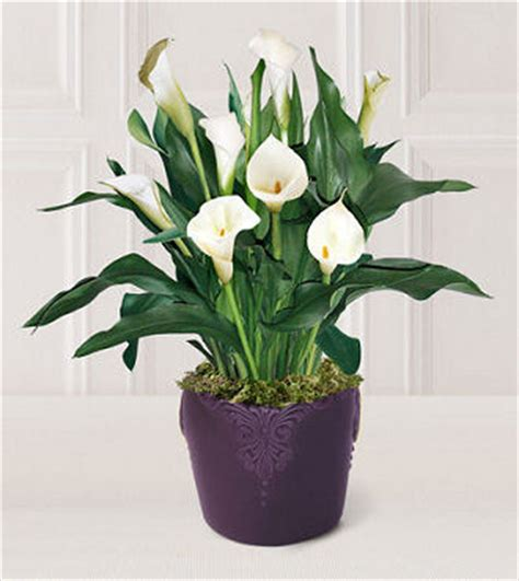how to take care of a calla plant image gallery lily plant