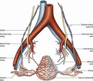 Uterine vessels | Musculoskeletal Key
