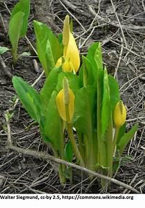 Calla Gelbe Blätter : amerikanische gelbe scheinkalla lysichiton americanus im 9x9 cm topf ~ A.2002-acura-tl-radio.info Haus und Dekorationen