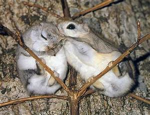 26 best images about Japanese flying squirrels on ...