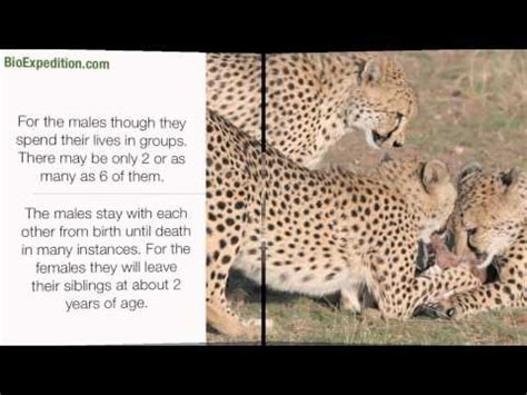 cheetah animal facts  information