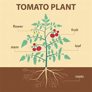 Draw Well Labelled Diagram Of Tomato Plant