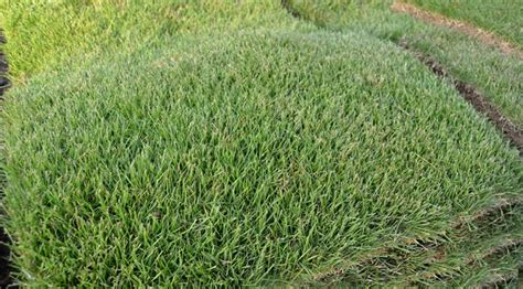 Zeon Zoysia Without The