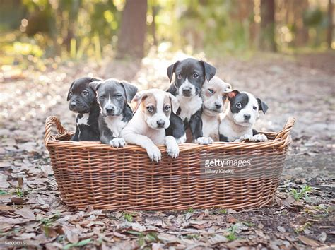 puppies  wooden basket stock photo getty images