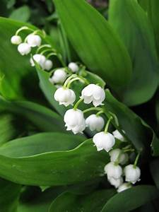 Growing Lily Of The Valley  Tips And Tales