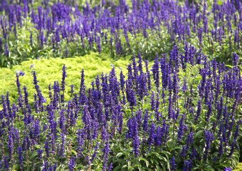 Blaue Stauden Winterhart by Ziersalbei Arten Und Sorten Winterhart Und Einj 228 Hrige
