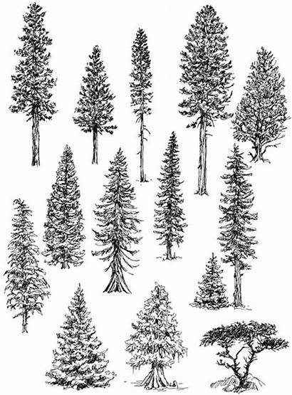 Trees Drawing Draw Conifers Among Claudia Nice