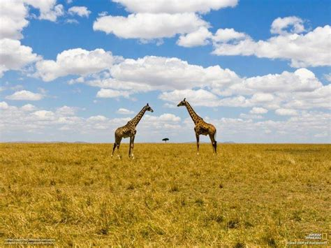 National Geographic Animal Hd Wallpapers - national geographic landscape animals clouds giraffes