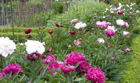 peonies growing season alan titchmarsh tips on growing peonies in your garden garden life style express co uk