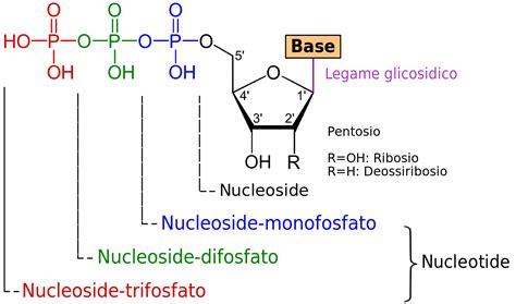 Nucleotide Nucleoside General It.svg
